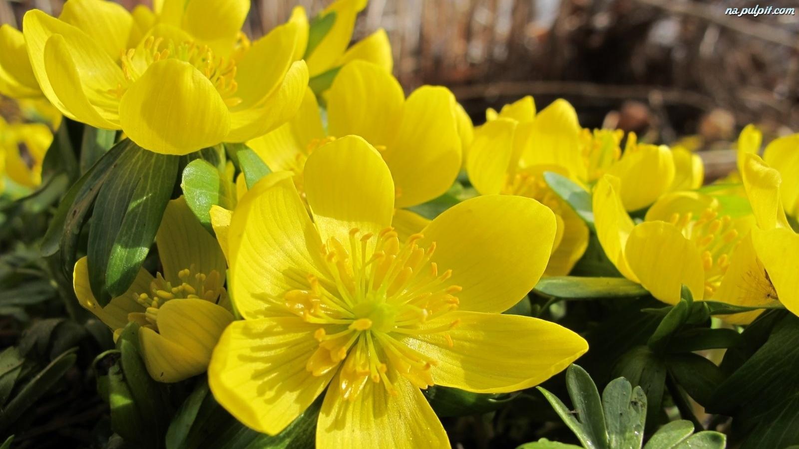 18 Kaczeńce Kwiaty Wiosenne Ż&243łte Na Pulpit
